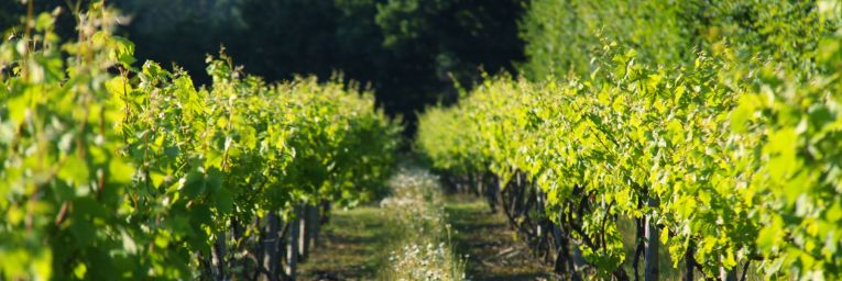Growing Giffords Hall Vineyard